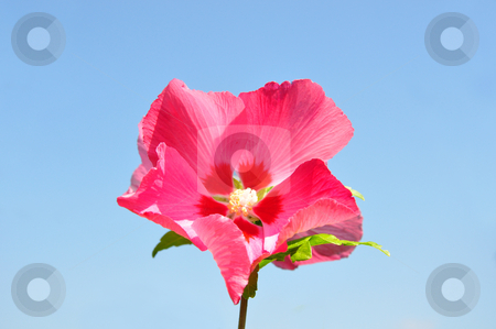 Hibiscus flower stock photo, Hibiscus flower by Robert Biedermann