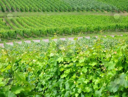 Vineyard stock photo, Vineyard by Robert Biedermann