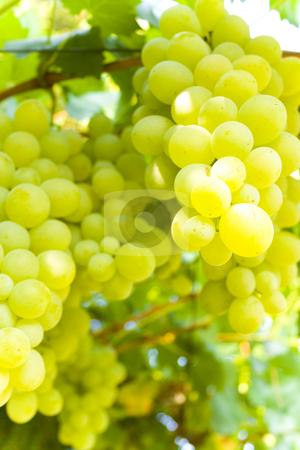 Vineyard stock photo, Vineyard by Minka Ruskova-Stefanova