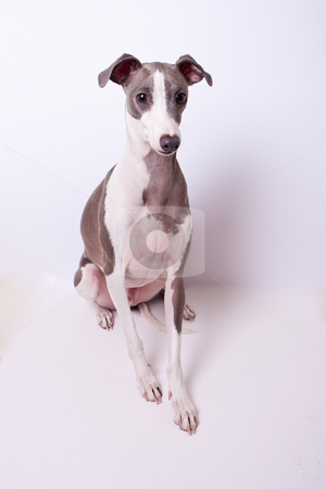 Blue & White Italian Greyhound Portrait stock photo, A blue and white Italian Greyhound posing for a portrait on a white background by Sharon Arnoldi
