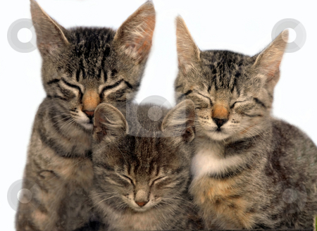 Three sitting sleeping cats stock photo, Three young cats sitting and sleeping over white background by Julija Sapic