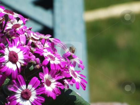 Bee pollinating flowers. stock photo, Macro image of a bee pollinating purple flowers. by Stephen Kiernan