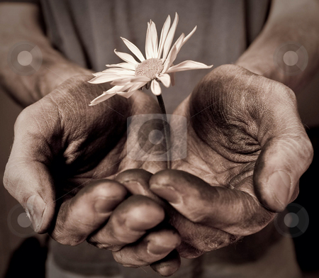 Two male hands cupped holding a flower stock photo, Two male hands cupped together holding a flower by Sharon Arnoldi