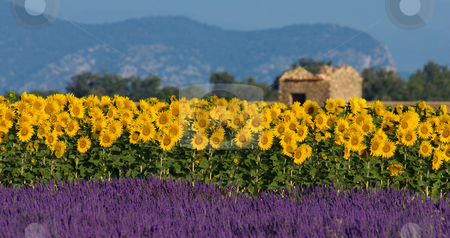 Lavender and sunflower setting in Provence, France stock photo, Image shows a typical colorful landscape in Provence, France. A sunflower field is combined with a lavender field in the foreground and a neglected barn in the background. by Andreas Karelias