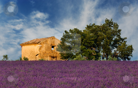 Old barn in Provence stock photo, Image shows an old abandoned barn overlooking a lavender field, in the region of Provence, France by Andreas Karelias