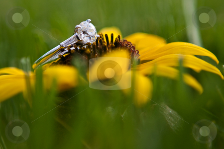 One diamond ring sitting on a sunflower stock photo, One diamond ring  resting on a sunflower outdoors by Sharon Arnoldi