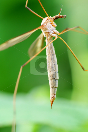 Mosquito stock photo, Big mosquito sit on green  raspberry bush by Jolanta Dabrowska
