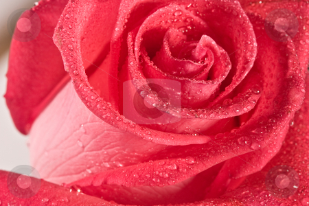 Rose stock photo, Macro image of  red rose with water drops by Gennady Kravetsky
