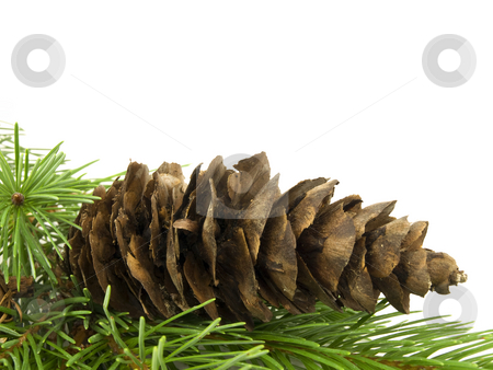 Pine Cone stock photo, Pine cone laying in branches with white background by John Teeter
