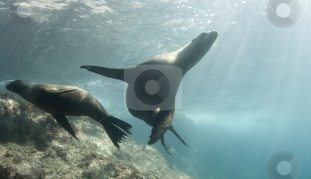 Cortez Sea Lions stock photo, Two California Sea Lions (Zalophus californianus) play together underwater in the Sea of Cortez, Mexico by A Cotton Photo