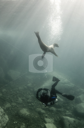 Diver and Sea Lion stock photo, A diver and a California Sea Lion (Zalophus californianus) play together underwater in the Sea of Cortez, Mexico by A Cotton Photo