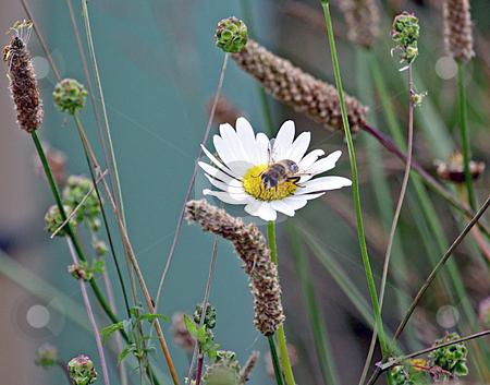 Bee pollinating daisy flower stock photo, Macro view of bee pollinating blooming daisy flower. by Martin Crowdy