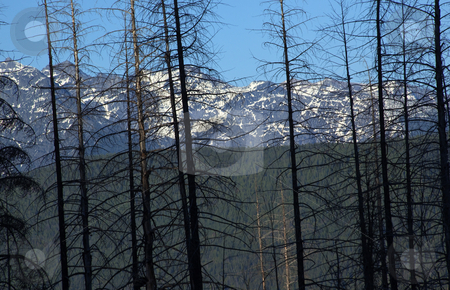 Burned Trees Glacier National Park stock photo, Burned Trees from Forest First Snow Mountains at Glacier National Park by William Perry