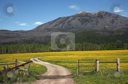 Yellow Flower Farm Road Fence Countryside Glacier National Park  stock photo, Country Roads Montana Countryside Yellow Flower Farm in front of Mountain Near Glacier National Park Montana by William Perry
