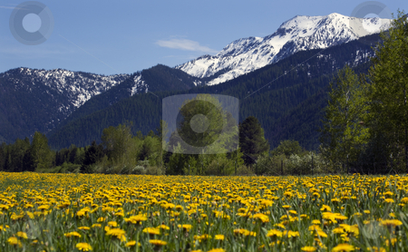 Yellow Flower Farm Snow Mountain Countryside Montana stock photo, Yellow Flower Farm in front of Snow Mountain Near Glacier National Park Montana by William Perry