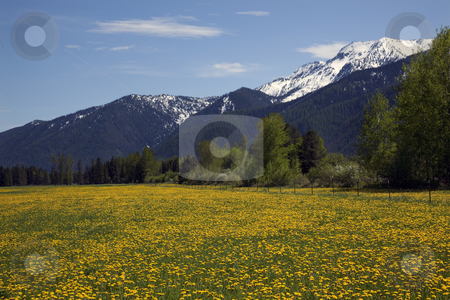 Yellow Flower Farm Snow Mountains Countryside Glacier National P stock photo, Yellow Flower Farm, Snow Mountains Near Glacier National Park Montana by William Perry