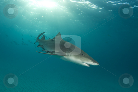 Lemon Shark Swimming stock photo, A lemon shark (Negaprion brevirostris) with a school of fish following with a sunburst behind and the rippled ocean floor below by A Cotton Photo