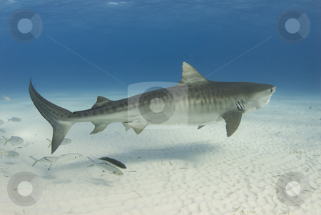 Graceful Tiger Shark stock photo, A Tiger Shark (Galeocerdo cuvier) swims along the shallow water as a school of fish follows by A Cotton Photo
