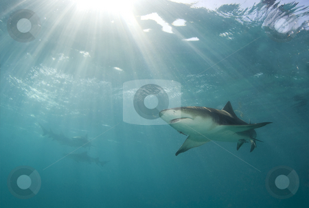 Lemon Rays stock photo, A lemon shark (Negaprion brevirostris) swims above as a burst of sunlight breaks through the ocean's surface by A Cotton Photo
