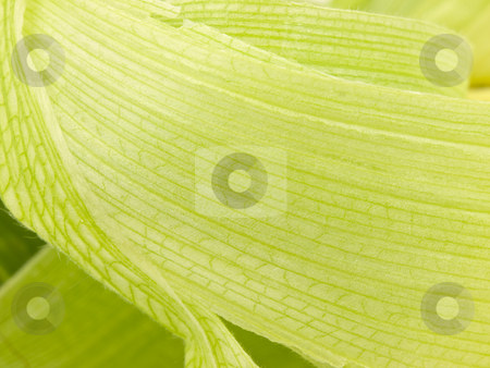 Corn Husk Background stock photo, Corn Husk close up for a background by John Teeter