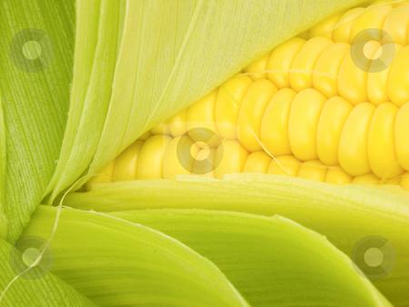 Corn Kernals Close up stock photo, Corn Kernals Close up with open husk by John Teeter