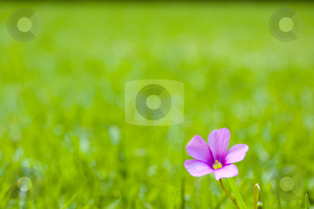 Single Pink Flower on Grass stock photo, A lonely pink flower on a patch of grass with shallow depth of field and lots of space for copy. by Lee Torrens