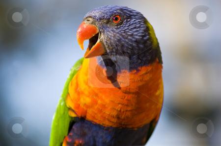 Rainbow Lorikeet - Up Close stock photo, A tight shot of an Australian Rainbow Lorikeet. by Lee Torrens