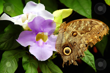 Brown owl butterfly stock photo, Brown owl butterfly on purple flower by perlphoto