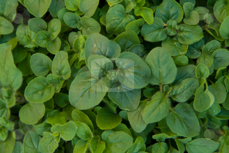 Oregano 2 stock photo, Bed of fresh Oregano growing in the garden by Emma White