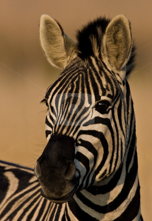 Burchells Zebra Portrait stock photo, Burchells Zebra looking into camera at attention by Adriaan Van den Berg