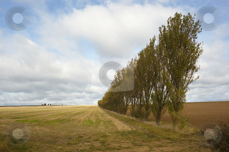 A row of poplars stock photo, A country scene with a row of poplars in autumn by Mike Smith