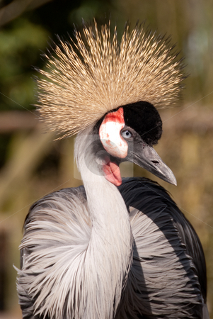 Bird with crown stock photo, Exotic bird with crown by Kurt Marlein