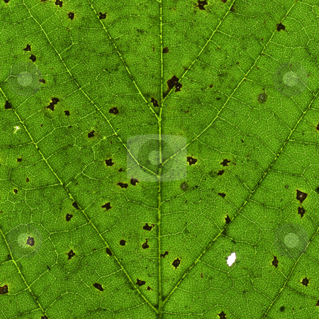 Macro close up of an old green leaf with black spots. stock photo, Macro close up of an old green leaf with black spots. by Stephen Rees