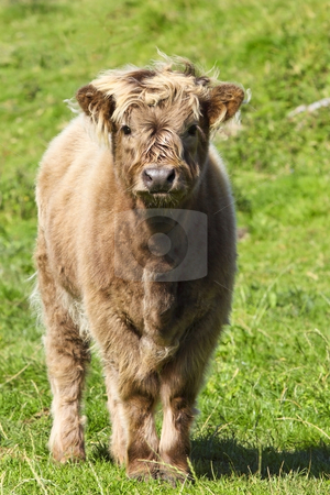 Highland calf stock photo, A young highland calf in a grassy meadow by Mike Smith