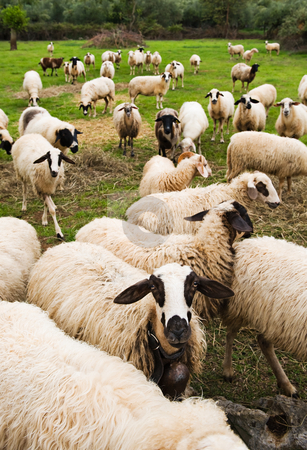 Flock of sheep stock photo, Flock of sheep in pasture walking towards the viewer. by Andreas Karelias
