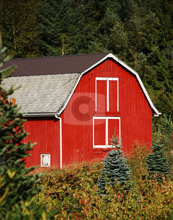Red wooden barn stock photo, Red wooden barn on tree farm by perlphoto