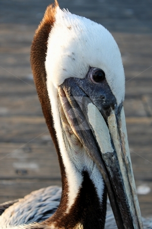 Pelican stock photo, Close up of a pelican head with pier in the background. by Henrik Lehnerer