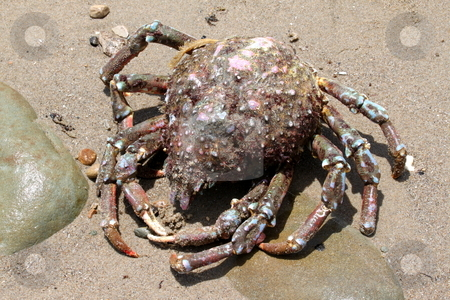 Crab Beach stock photo, Big old crab on the beach looks like a spider. by Henrik Lehnerer