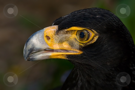 Verreaux's Eagle stock photo, Macro Close up of a Verreaux's eagle by Adriaan Van den Berg