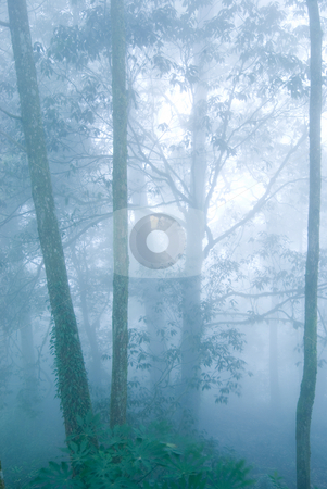 Pine tree forest with fog. stock photo, Deep fog in natural woodland. pine tree forest. by Lawren