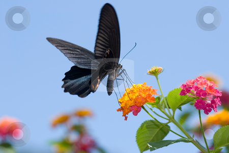 Big black swallowtail butterfly flying under blue sky stock photo, Big black swallowtail butterfly flying under blue sky, feeding on flowers by Lawren