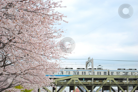 Cherry blossoms during spring stock photo, Japanese cherry blossoms during spring with a railway in the background, symbolizing the contrast or blend between nature and technology, the concept of transiency, the short-lived nature, passing of time and other abstract ideas. by Wai Chung Tang