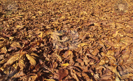 Autumn leaves stock photo, Lots of leaves from the horse chestnut tree fallen on the grass by Stephen Clarke