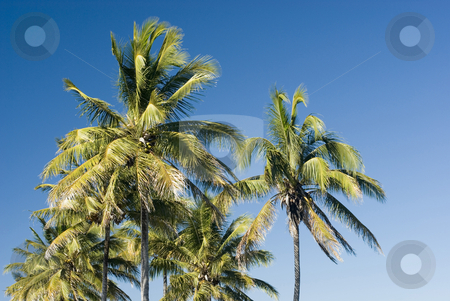 Tropical palms stock photo, A group of palm trees growing in the tropical climate of the Whitsunday islands, Queensland, Australia by Stephen Gibson
