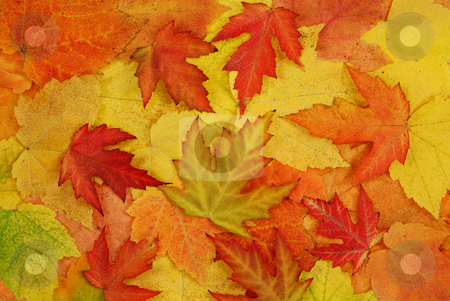 Leaf of autumn stock photo, Coloured fresh leaf of autumn as background by Jolanta Dabrowska
