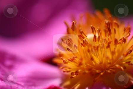 Pink Rockrose stock photo, Cistus Purpureus or Orchid Rockrose in pink from a bush shrub by Henrik Lehnerer