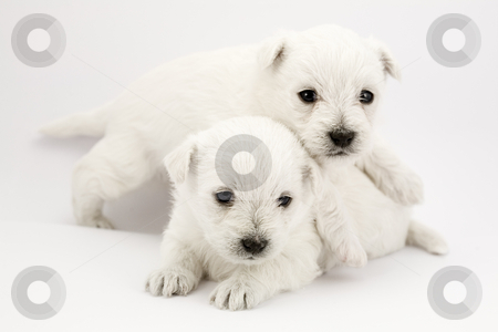 Playing puppies stock photo, Adorable playing puppies, only a few weeks old by Laurent Renault