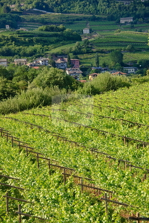 Vineyard landscape stock photo, Typical vineyard landscape among mountains of Trentino by Natalia Macheda