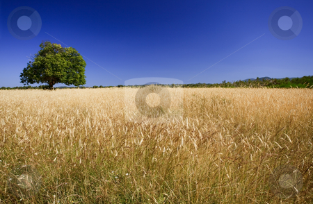 Bright colors of harvest season stock photo, Field of ripe wheat with green tree against deep blue sky. Focus on the foreground. by Natalia Macheda