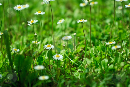 Daisy field stock photo, Green field with small daisies, soft focus, shallow DOF by Natalia Macheda